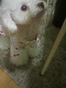 愛犬鈴ちゃん~トイプードル☆ライフスタイル~-2011121522580000.jpg