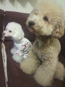 愛犬鈴ちゃん~トイプードル☆ライフスタイル~-2011121523400000.jpg