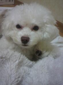 愛犬鈴ちゃん~トイプードル☆ライフスタイル~-2011121621590000.jpg