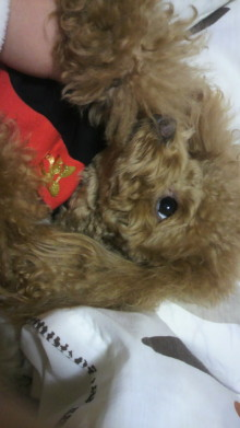愛犬鈴ちゃん~トイプードル☆ライフスタイル~-2011121623510000.jpg