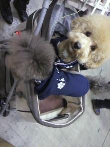 愛犬鈴ちゃん~トイプードル☆ライフスタイル~-2011121811530000.jpg