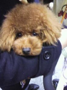 愛犬鈴ちゃん~トイプードル☆ライフスタイル~-2011121811530001.jpg