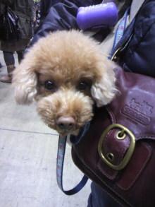 愛犬鈴ちゃん~トイプードル☆ライフスタイル~-2011121811530002.jpg