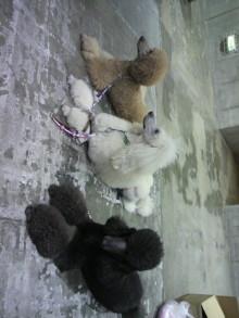 愛犬鈴ちゃん~トイプードル☆ライフスタイル~-2011121810320000.jpg