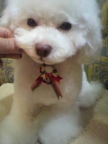 愛犬鈴ちゃん~トイプードル☆ライフスタイル~-2011122020460001.jpg