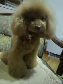 愛犬鈴ちゃん~トイプードル☆ライフスタイル~-2011122021130000.jpg
