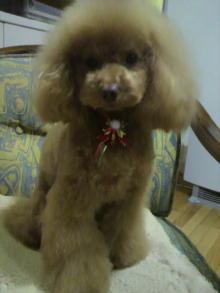 愛犬鈴ちゃん~トイプードル☆ライフスタイル~-2011122021130001.jpg