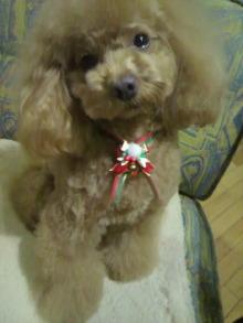 愛犬鈴ちゃん~トイプードル☆ライフスタイル~-2011122021130002.jpg