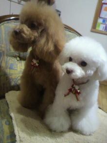 愛犬鈴ちゃん~トイプードル☆ライフスタイル~-2011122021150001.jpg