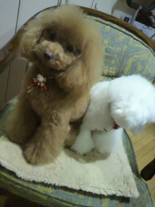 愛犬鈴ちゃん~トイプードル☆ライフスタイル~-2011122021150002.jpg
