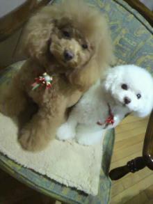愛犬鈴ちゃん~トイプードル☆ライフスタイル~-2011122021160000.jpg