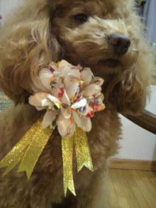 愛犬鈴ちゃん~トイプードル☆ライフスタイル~-2011122117060001.jpg
