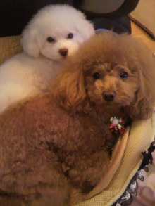愛犬鈴ちゃん~トイプードル☆ライフスタイル~-2011122121080000.jpg