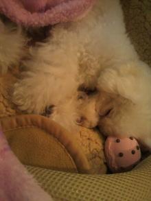 愛犬鈴ちゃん~トイプードル☆ライフスタイル~-2011122121140000.jpg