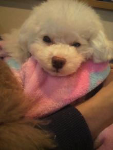 愛犬鈴ちゃん~トイプードル☆ライフスタイル~-2011122221200001.jpg