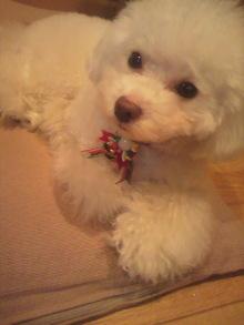 愛犬鈴ちゃん~トイプードル☆ライフスタイル~-2011122221330000.jpg