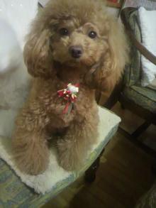 愛犬鈴ちゃん~トイプードル☆ライフスタイル~-2011122221490001.jpg