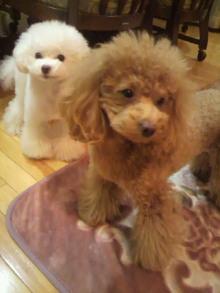 愛犬鈴ちゃん~トイプードル☆ライフスタイル~-2011123006380001.jpg