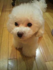 愛犬鈴ちゃん~トイプードル☆ライフスタイル~-2011123006380000.jpg