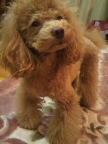 愛犬鈴ちゃん~トイプードル☆ライフスタイル~-2011123006390000.jpg