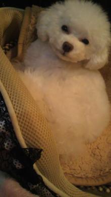 愛犬鈴ちゃん~トイプードル☆ライフスタイル~-2011123007060000.jpg