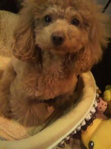 愛犬鈴ちゃん~トイプードル☆ライフスタイル~-2011123006390001.jpg
