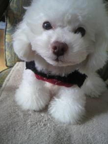 愛犬鈴ちゃん~トイプードル☆ライフスタイル~-2011123110000000.jpg