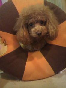 愛犬鈴ちゃん~トイプードル☆ライフスタイル~-2012010422160000.jpg