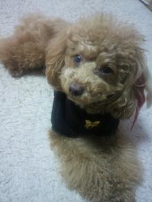 愛犬鈴ちゃん~トイプードル☆ライフスタイル~-2012011118040000.jpg