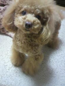 愛犬鈴ちゃん~トイプードル☆ライフスタイル~-2012011118270000.jpg