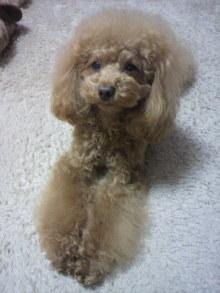 愛犬鈴ちゃん~トイプードル☆ライフスタイル~-2012011118270002.jpg