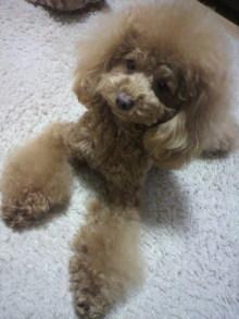 愛犬鈴ちゃん~トイプードル☆ライフスタイル~-2012011118290000.jpg