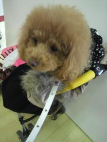 愛犬鈴ちゃん~トイプードル☆ライフスタイル~-2012011513170000.jpg