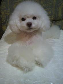 愛犬鈴ちゃん~トイプードル☆ライフスタイル~-2012011518180002.jpg