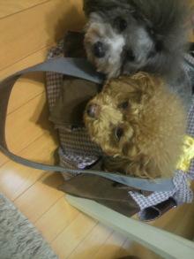 愛犬鈴ちゃん~トイプードル☆ライフスタイル~-2012011615280000.jpg