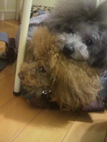 愛犬鈴ちゃん~トイプードル☆ライフスタイル~-2012011617010000.jpg
