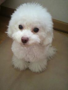 愛犬鈴ちゃん~トイプードル☆ライフスタイル~-2012011913140000.jpg