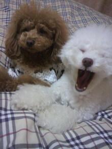 愛犬鈴ちゃん~トイプードル☆ライフスタイル~-2012011922090001.jpg