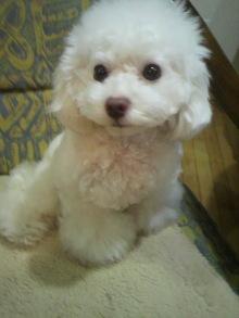 愛犬鈴ちゃん~トイプードル☆ライフスタイル~-2012012120500000.jpg