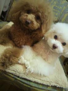 愛犬鈴ちゃん~トイプードル☆ライフスタイル~-2012012120520000.jpg