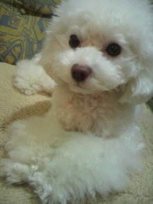 愛犬鈴ちゃん~トイプードル☆ライフスタイル~-2012012120510000.jpg