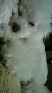 愛犬鈴ちゃん~トイプードル☆ライフスタイル~-2012012122080000.jpg