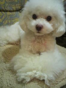 愛犬鈴ちゃん~トイプードル☆ライフスタイル~-2012012120510001.jpg