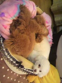 愛犬鈴ちゃん~トイプードル☆ライフスタイル~-2012012601350001.jpg