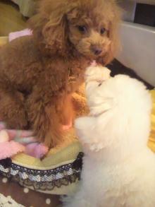愛犬鈴ちゃん~トイプードル☆ライフスタイル~-2012012601360000.jpg