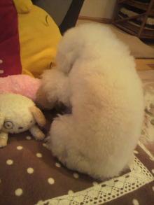 愛犬鈴ちゃん~トイプードル☆ライフスタイル~-2012012601390001.jpg