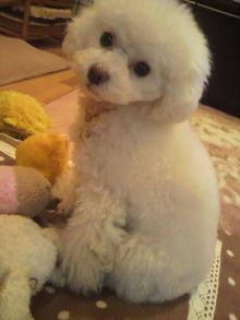 愛犬鈴ちゃん~トイプードル☆ライフスタイル~-2012012601390002.jpg
