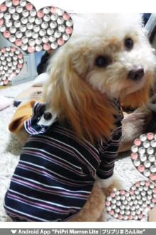 愛犬鈴ちゃん~トイプードル☆ライフスタイル~-1327220118709.jpg