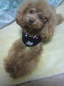 愛犬鈴ちゃん~トイプードル☆ライフスタイル~-2012012923010000.jpg