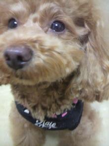 愛犬鈴ちゃん~トイプードル☆ライフスタイル~-2012012923050002.jpg